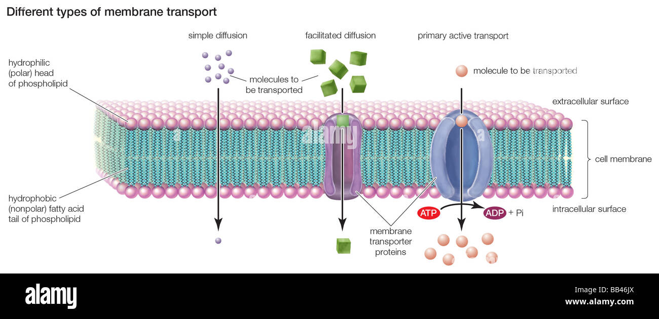 hight resolution of types of transport across the cell membrane include simple diffusion rh alamy com simple plant cell wall diagram cell membrane structure