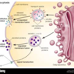 Golgi Apparatus Structure Diagram Clipsal Dimmer Switch Wiring Exocytosis A Process For Primary Active Transport Across