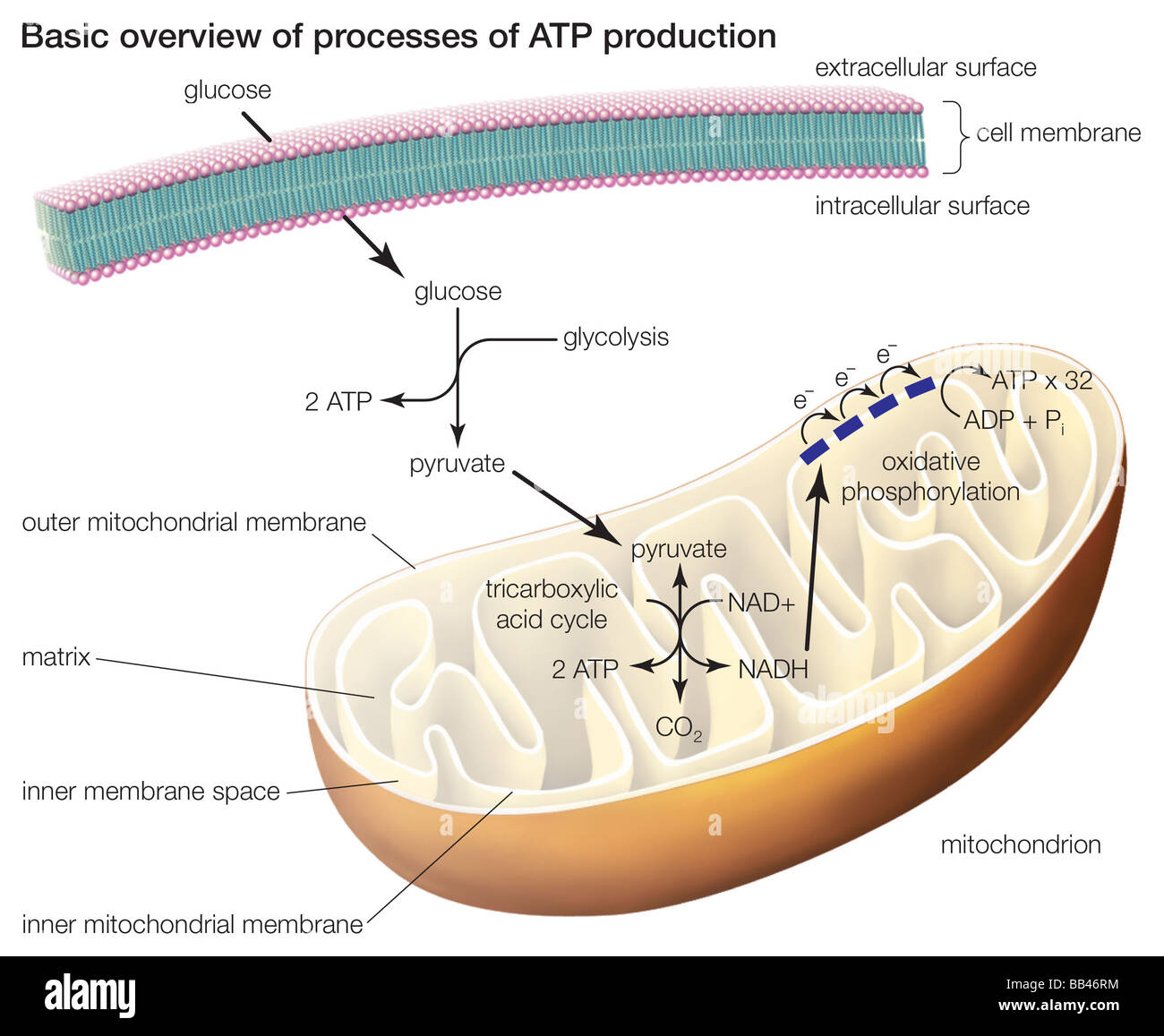 adp molecule diagram labeled 2005 expedition fuse box atp stock photos and images alamy