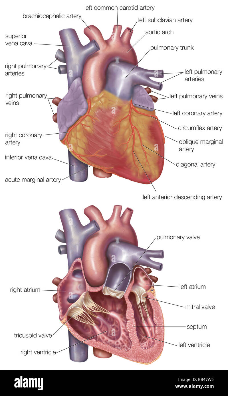 medium resolution of diagram showing the exterior and a cross section of the human heart
