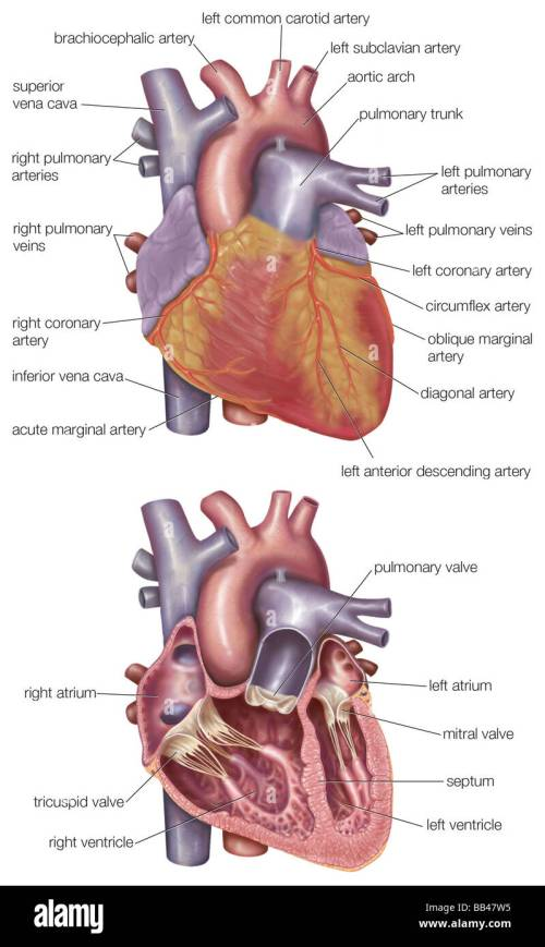 small resolution of diagram showing the exterior and a cross section of the human heart