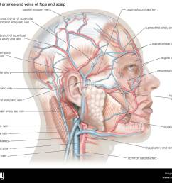 superficial arteries and veins of the face and scalp stock photo artery diagram scalp [ 1300 x 1116 Pixel ]