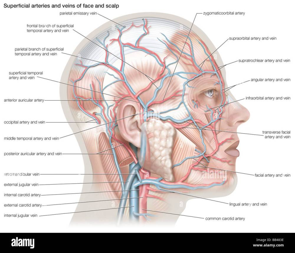 medium resolution of superficial arteries and veins of the face and scalp stock photo artery diagram scalp