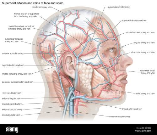small resolution of superficial arteries and veins of the face and scalp stock photo artery diagram scalp