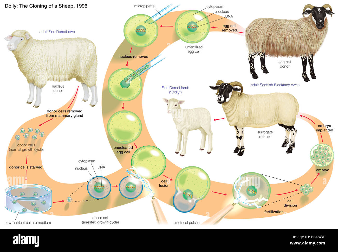 dolly the sheep cloning diagram contactor wiring a1 a2 process through which a female finn dorset