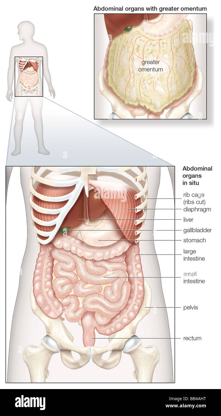 hight resolution of diagram of the human abdominal cavity showing the digestive organs in situ as well as covered by the omentum