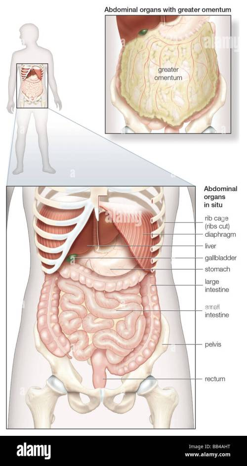 small resolution of diagram of the human abdominal cavity showing the digestive organs in situ as well as covered by the omentum