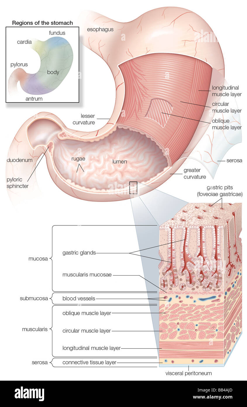 hight resolution of diagram showing the mucosa and musculature of the human stomach plus insets of histology and regions