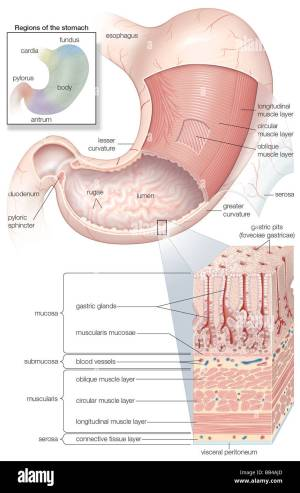 Diagram showing the Mucosa and musculature of the human stomach plus Stock Photo, Royalty Free