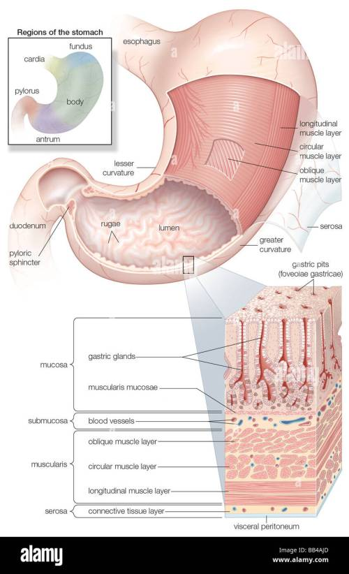 small resolution of diagram showing the mucosa and musculature of the human stomach plus insets of histology and regions