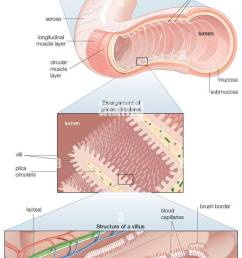 diagram of the human small intestine with insets of musculature mucosa histology and its [ 582 x 1390 Pixel ]