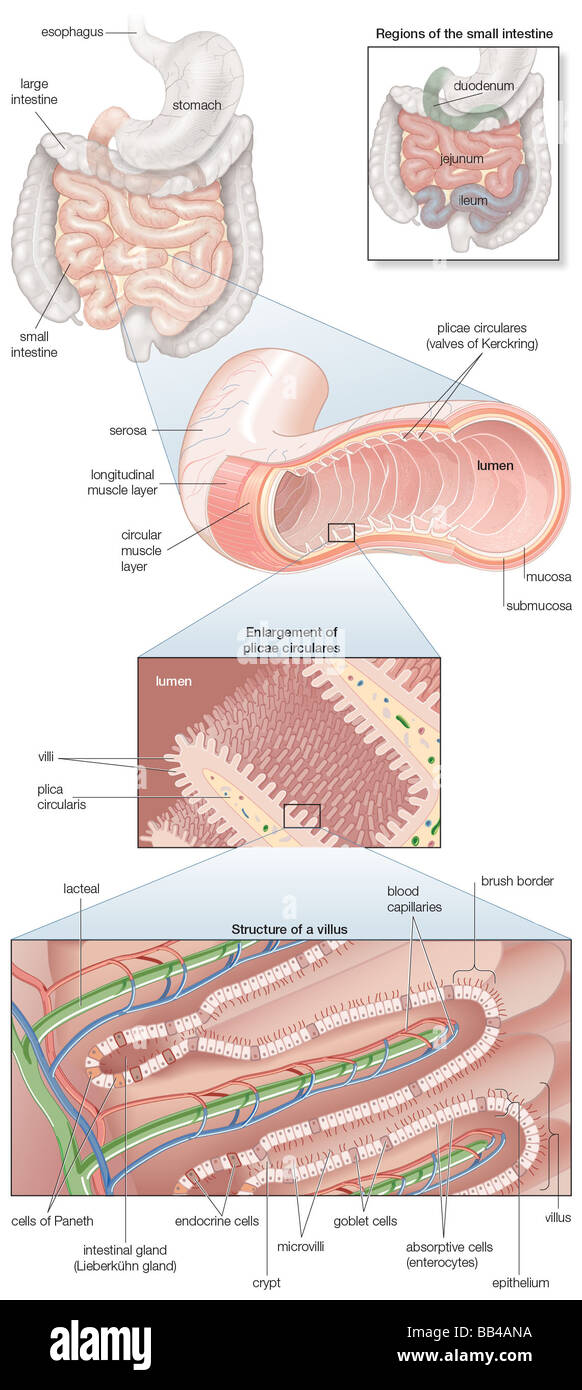 hight resolution of diagram of the human small intestine with insets of musculature mucosa histology and its regions in situ