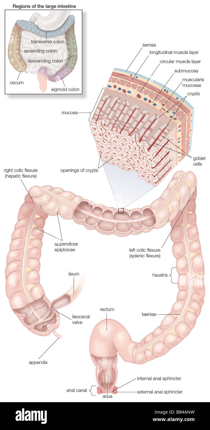 hight resolution of diagram of the human large intestines including and inset of its musculature and mucosa histology and an inset of its regions
