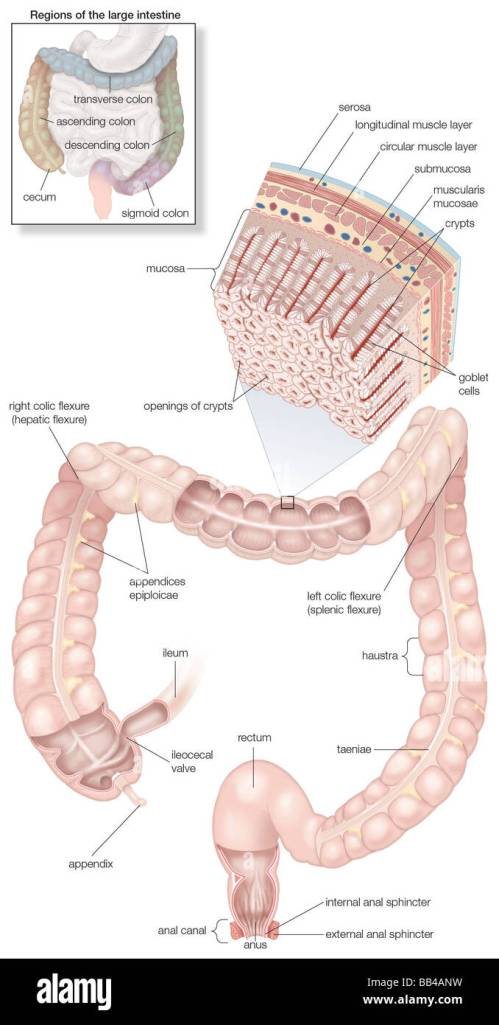 small resolution of diagram of the human large intestines including and inset of its musculature and mucosa histology and an inset of its regions