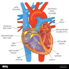 Cardiac Conduction System Diagram Archimate Example Electrical In The Heart Healthy Individuals