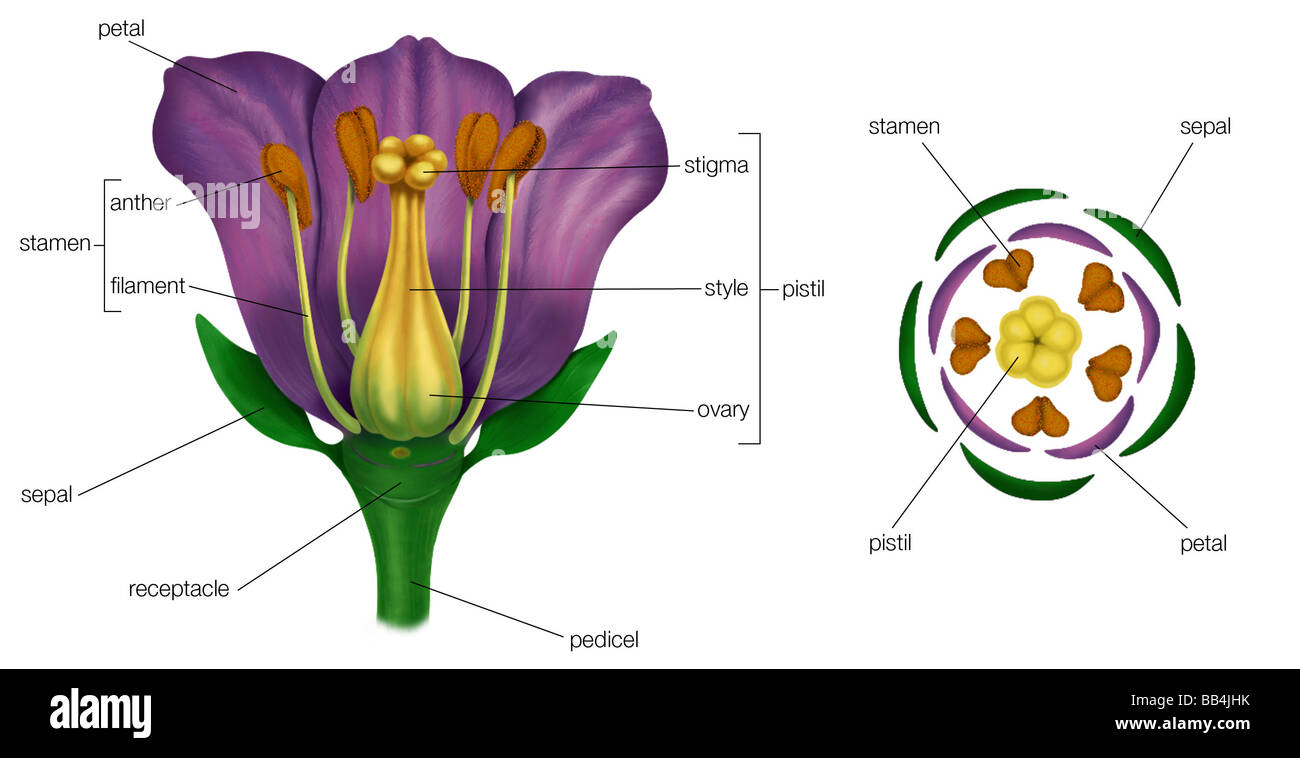 parts of a flowering plant diagram 2002 jeep wrangler 4 0 wiring generalized flower with left showing arrangement floral in cross section at the s base right
