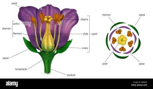 small resolution of generalized flower with parts left diagram showing arrangement of floral parts in cross section at the flower s base right