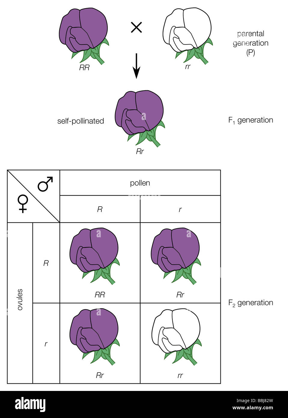 pea flower diagram saab 9 3 radio wiring mendel's law of segregation cross a purple-flowered and stock photo: 24373073 - alamy