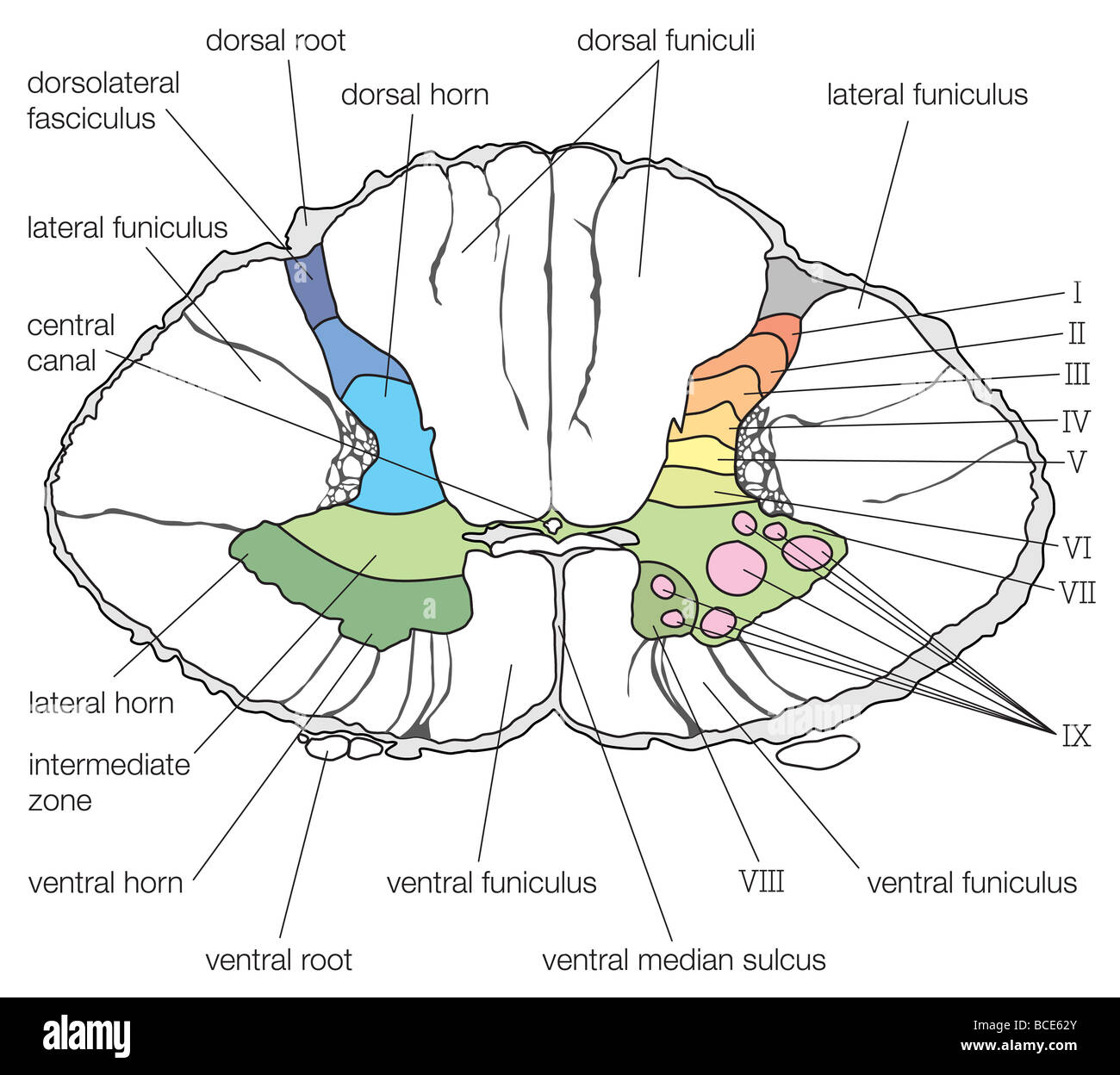 cross section spinal cord diagram labeled meyer snow stock photos images a of the lower cervical segment showing cytoarchitectural lamination