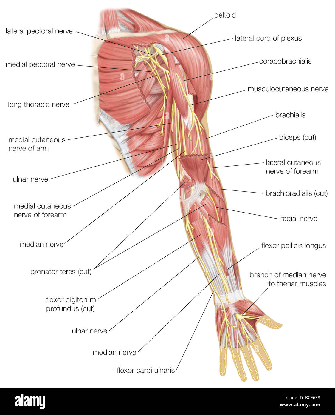 hight resolution of left elbow diagram wiring diagram detailed anular ligament elbow diagram left arm diagram wiring diagram origin