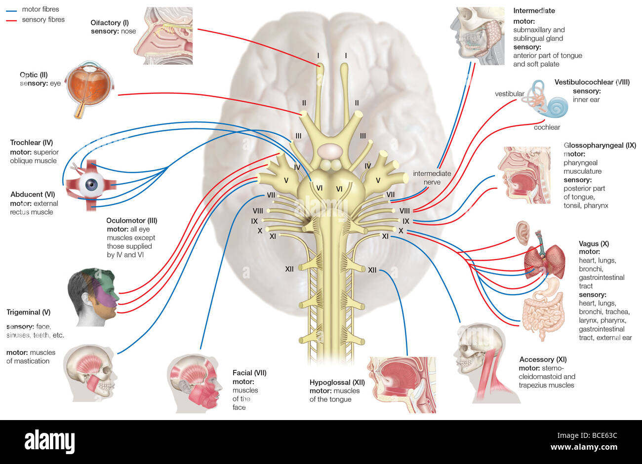 trigeminal nerve diagram bmw 2002 alternator wiring the human cranial nerves and their areas of innervation