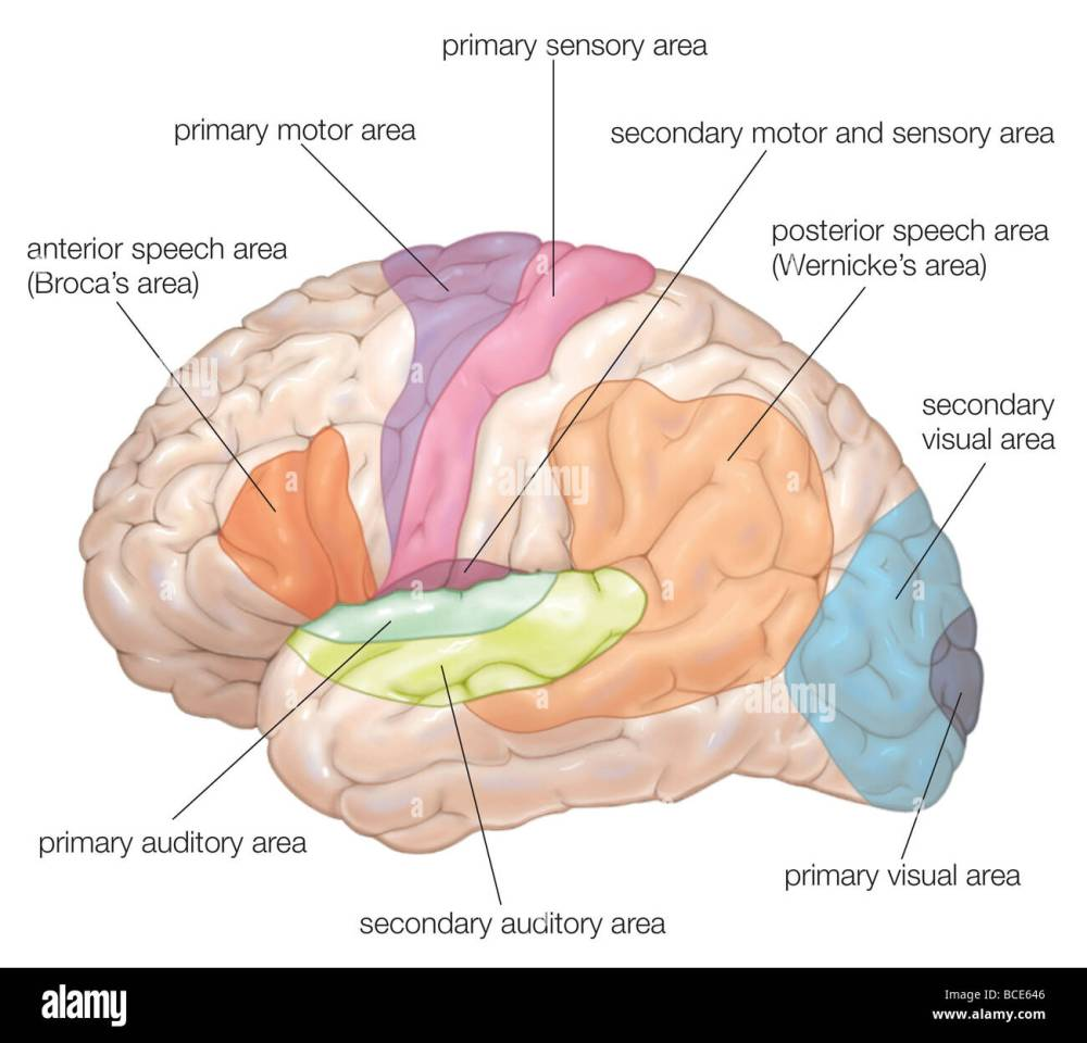 medium resolution of diagram of the lateral view of the human brain showing the functional areas motor sensory auditory visual and speech