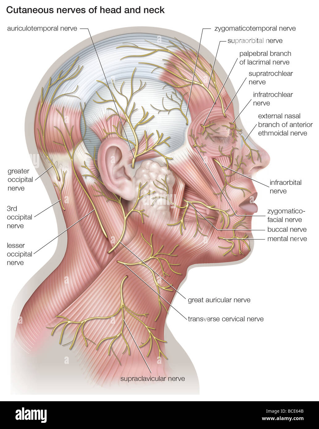 hight resolution of diagram of the cutaneous nerves of the head and neck