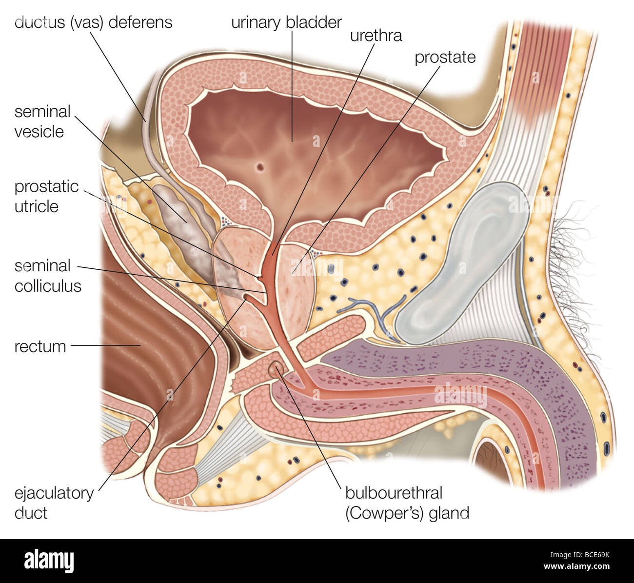 hight resolution of sagittal section of the male reproductive organs showing the prostate gland and seminal vesicles