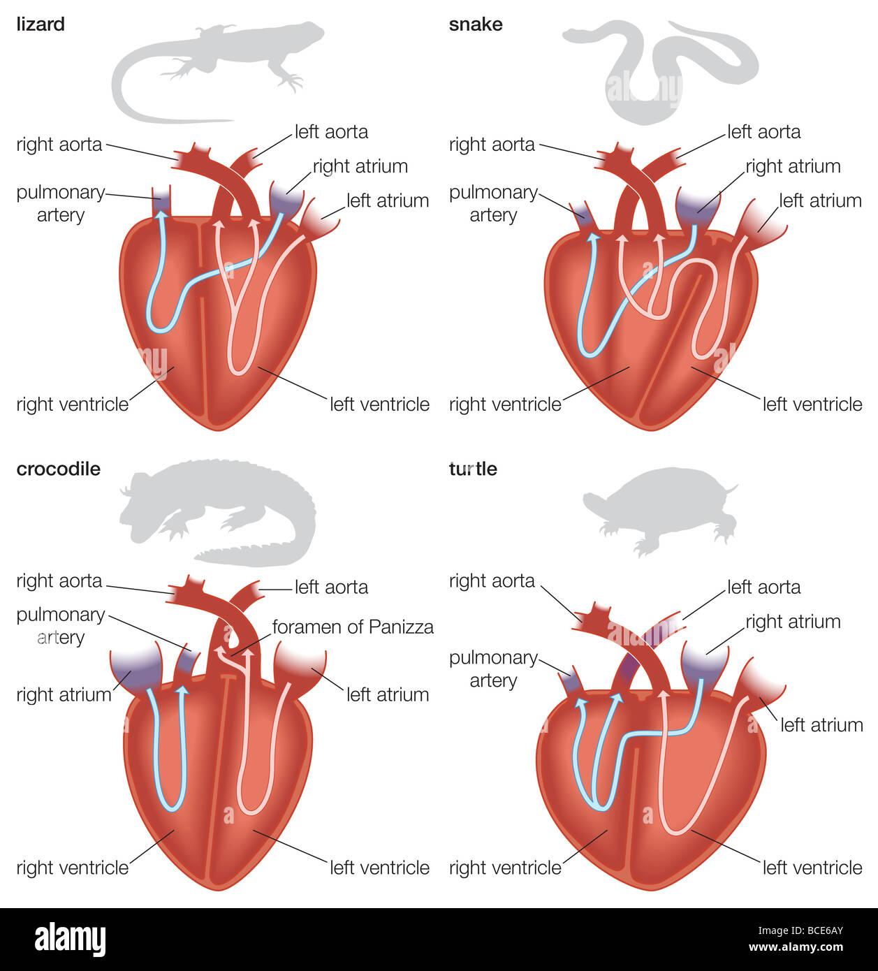 hight resolution of types of reptilian hearts lizard snake crocodile and lizard diagram internal diagram of dorsal view of lizard