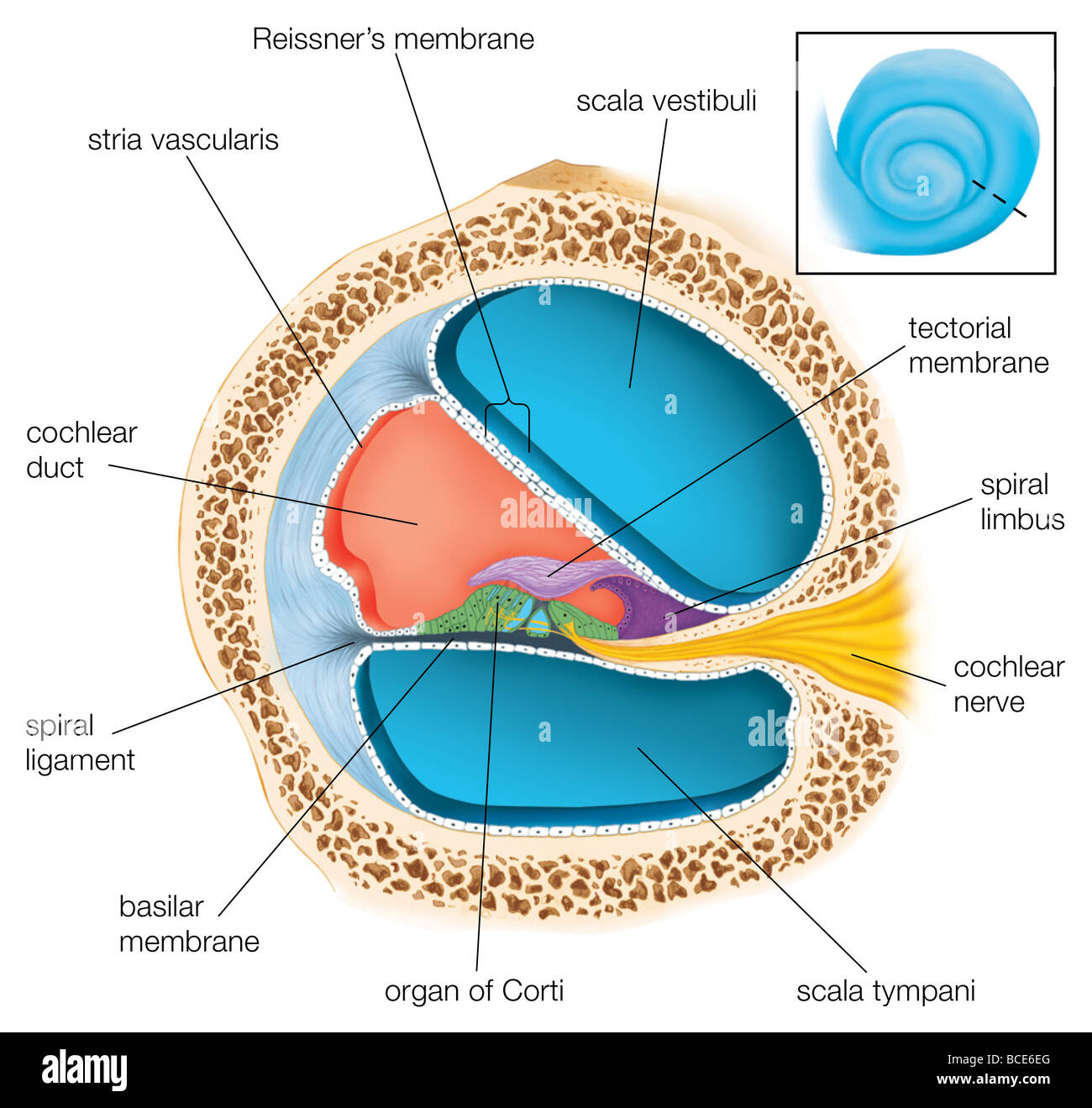 hight resolution of a cross section through one of the turns of the cochlea showing the cochlea cross section diagram