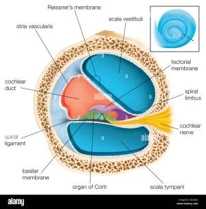 A cross section through one of the turns of the cochlea