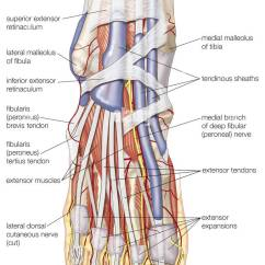 Outside Tendon Hand Diagram Car Starter Motor Wiring Dorsal View Of The Right Foot, Showing Major Muscles, Tendons Stock Photo, Royalty Free ...
