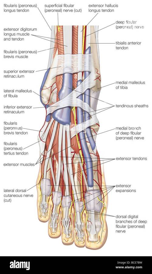 small resolution of dorsal view of the right foot showing the major muscles tendons and nerves
