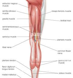 posterior view of the human right leg showing the muscles of the hip thigh [ 778 x 1390 Pixel ]
