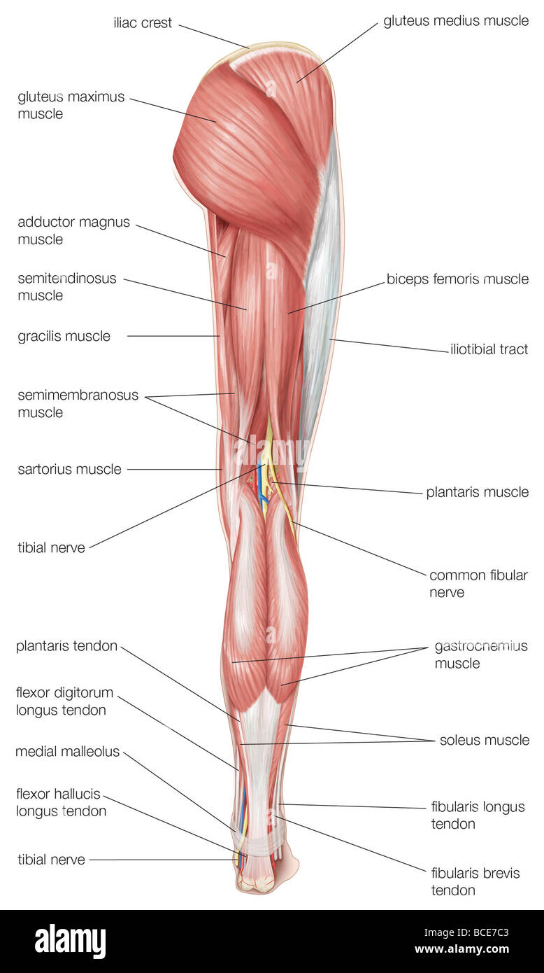 hight resolution of posterior view of the human right leg showing the muscles of the hip thigh