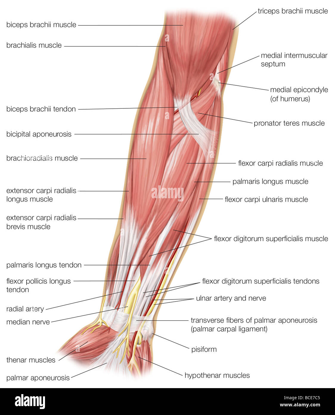 muscles in your arm diagram farmall h 12 volt conversion wiring the anterior view of human forearm