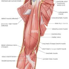 Muscles In Your Arm Diagram Cub Cadet Deck Belt The Of Human Upper As Well