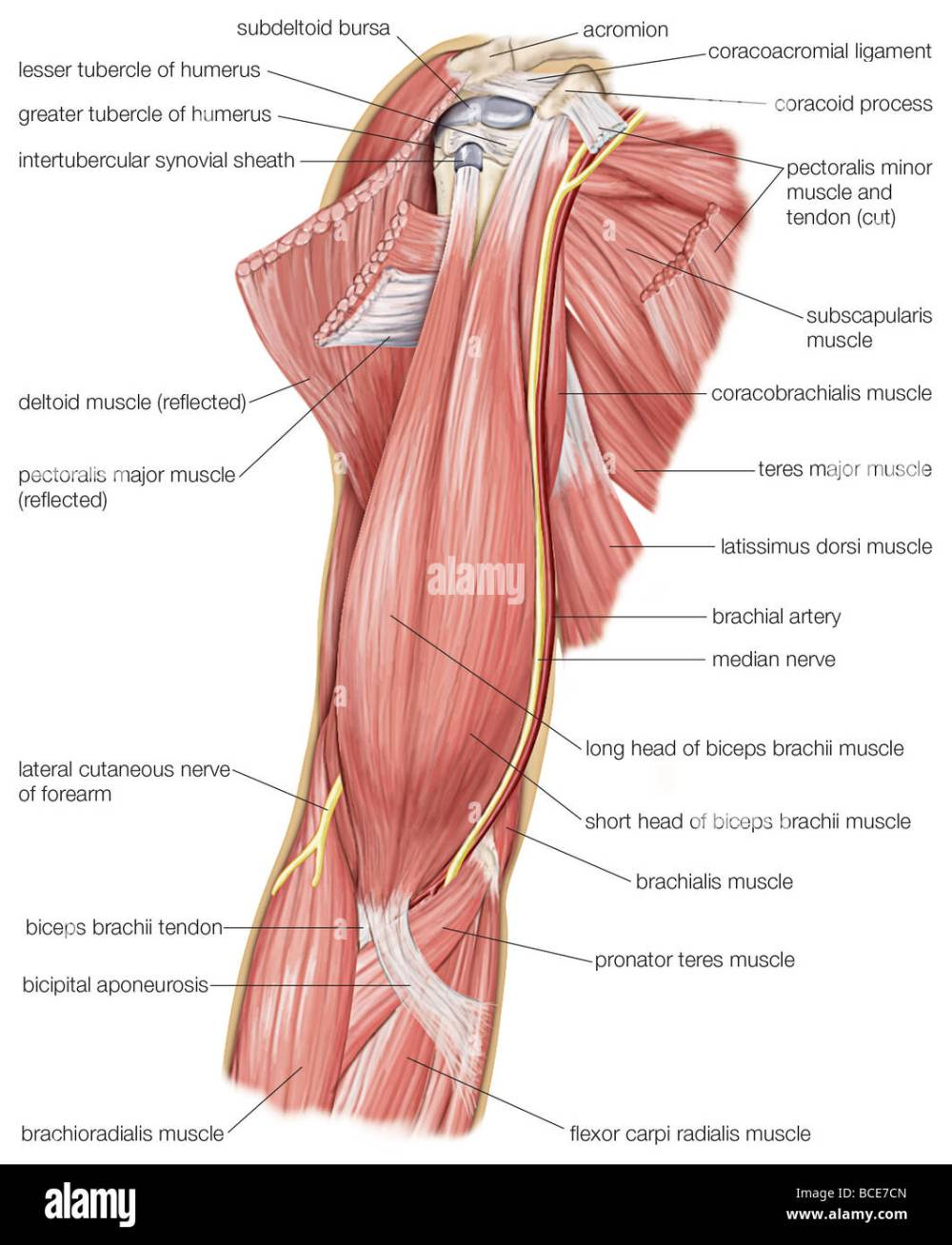 medium resolution of the muscles of the human upper arm as well as the cutaneous nerve and median nerve