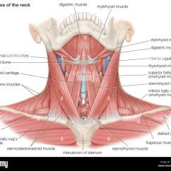 Carotid Artery Diagram Circuit Ms Word The Muscles Of Human Neck, As Well Major Bones And Blood Stock Photo, Royalty Free ...