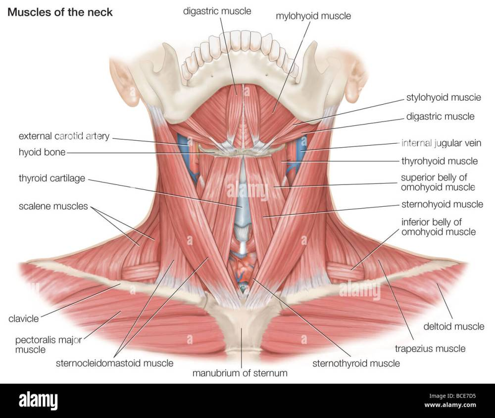 medium resolution of the muscles of the human neck as well as the major bones and blood vessels