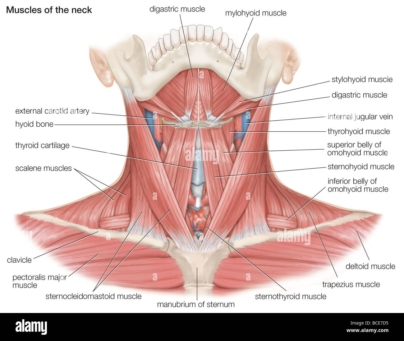 hight resolution of the muscles of the human neck as well as the major bones and blood vessels