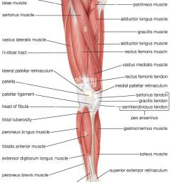 the anterior view of the muscles of the human right leg stock image [ 847 x 1390 Pixel ]