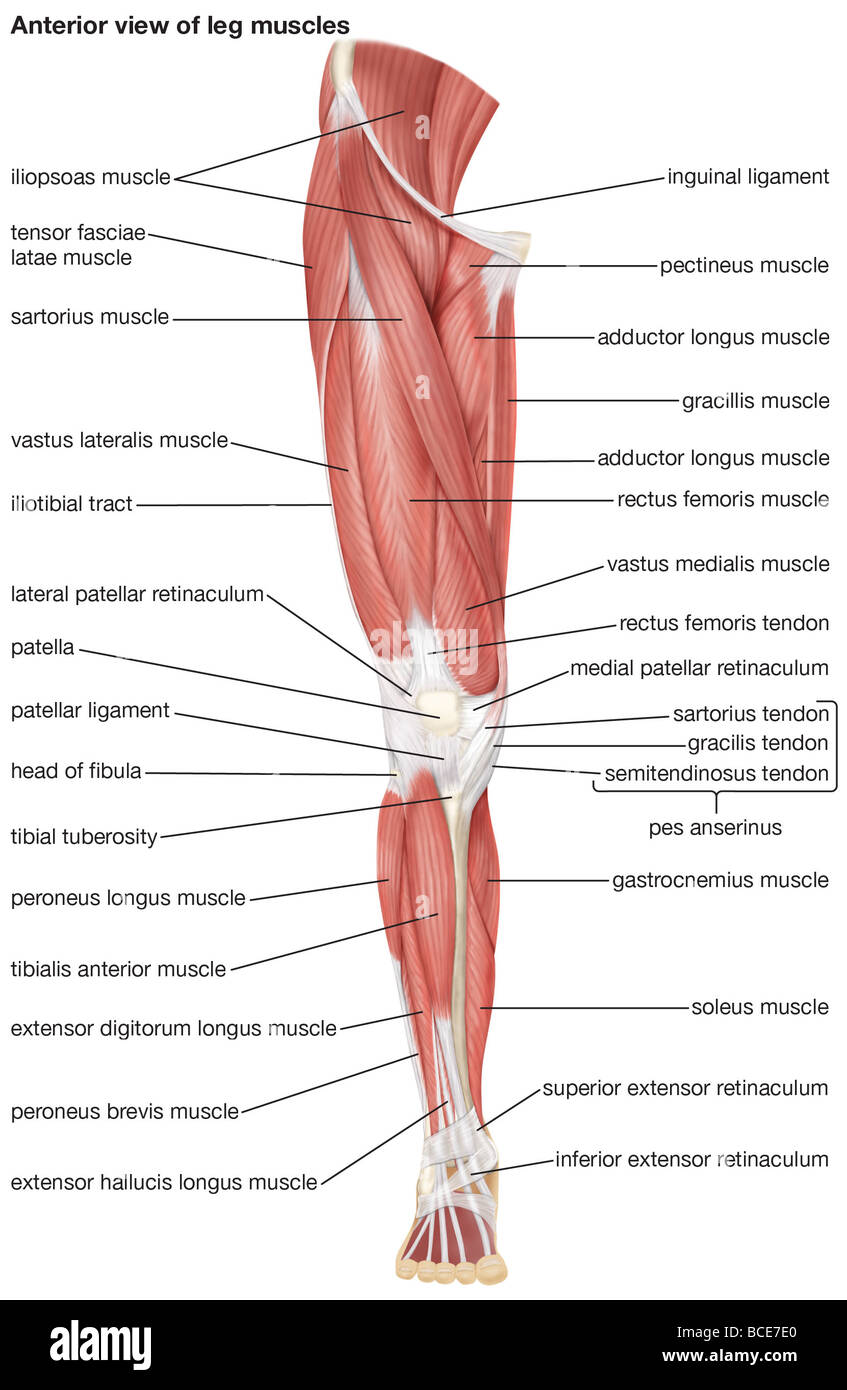 medium resolution of the anterior view of the muscles of the human right leg stock image