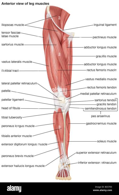 small resolution of the anterior view of the muscles of the human right leg stock image