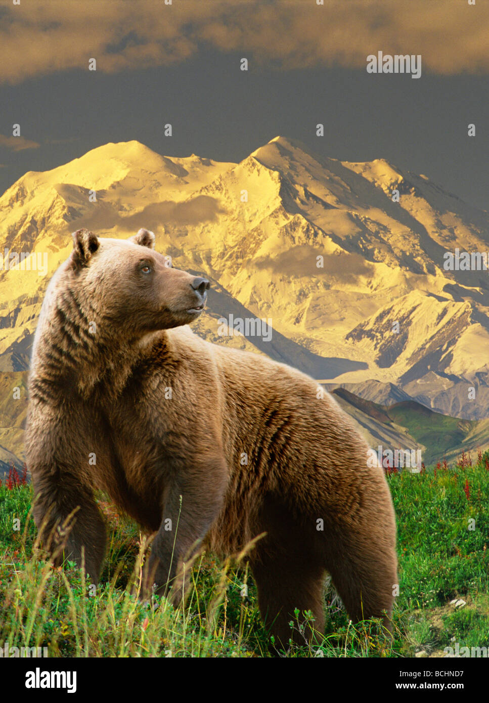 composite grizzly stands on