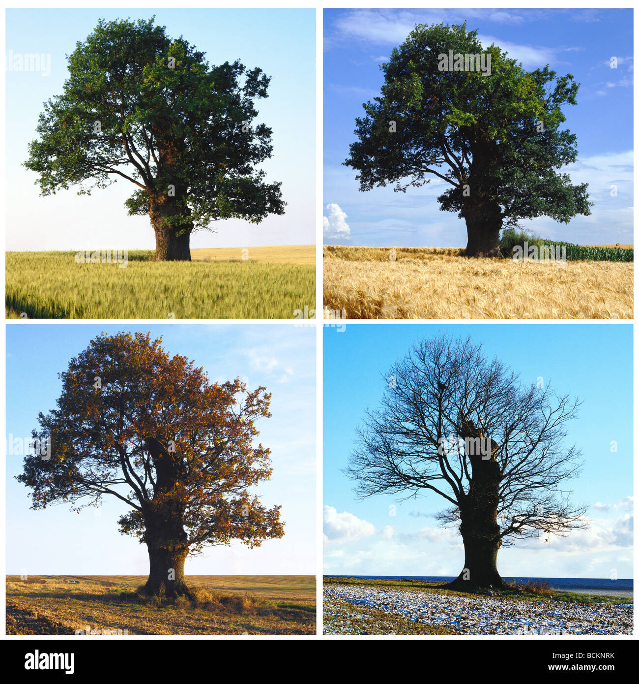 Tree Sequence In Four Seasons Stock Photo