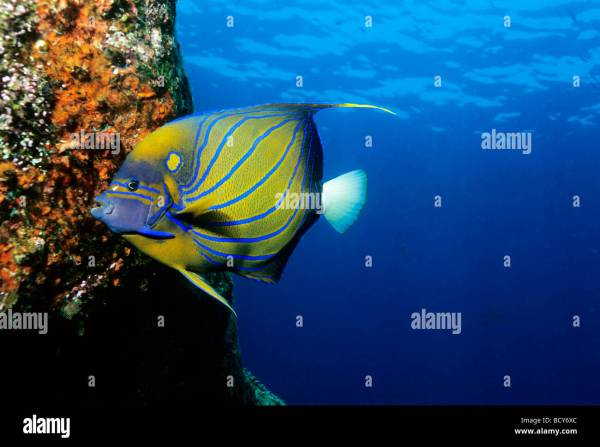 BlueRing Angelfish Pomacanthus annularis feeding on red