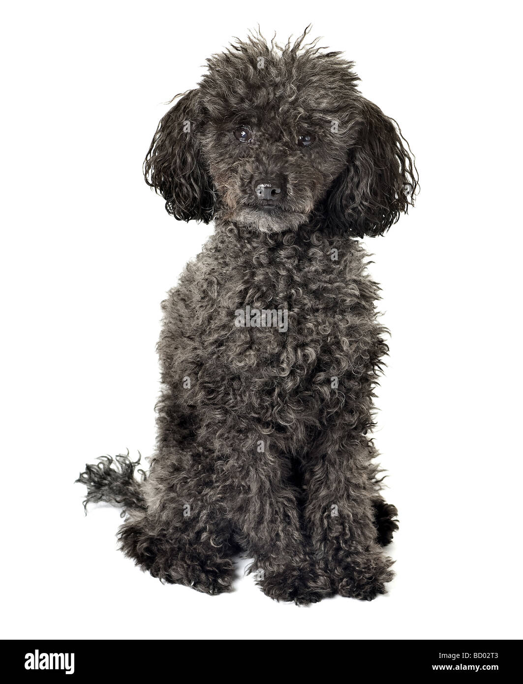 Black Teacup Poodle : black, teacup, poodle, Poodle, Black, Resolution, Stock, Photography, Images, Alamy
