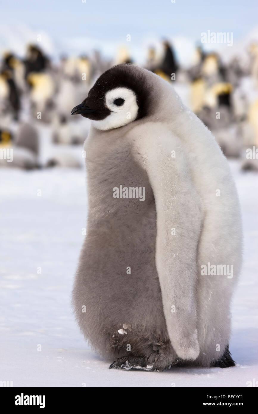 1 fluffy cute shy
