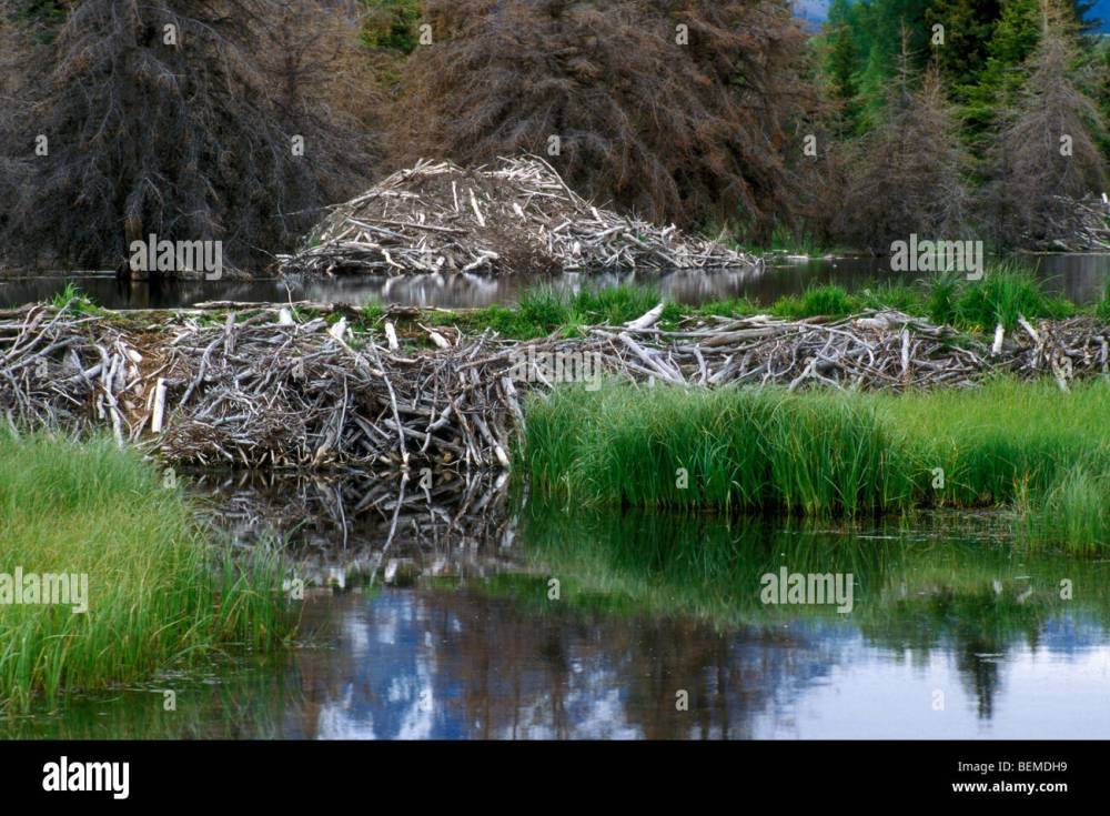 medium resolution of north american beaver lodge and dam castor canadensis grand tetons national park